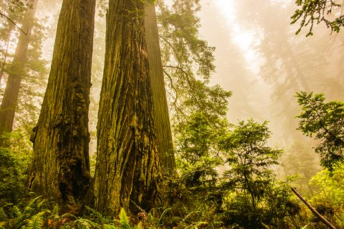 Coastal Redwood Trees in Mist